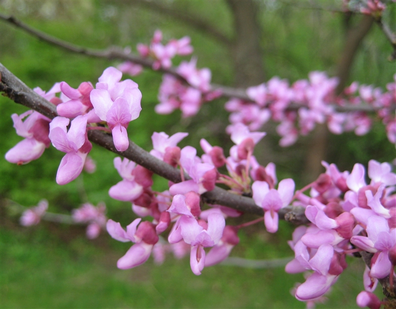 Cercis canadensis flowers