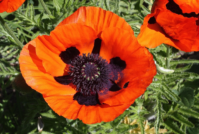 Papaver intermedium