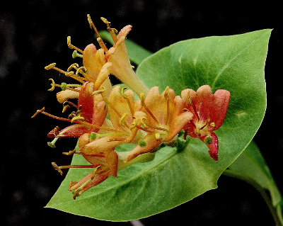 Lonicera dioica