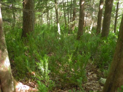 Taxus canadensis in forest understory