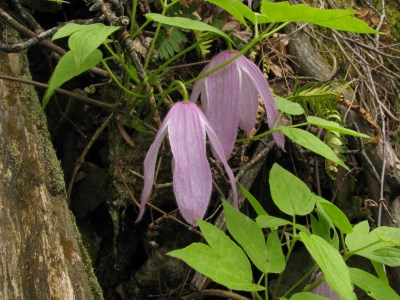 Clematis occidentalis