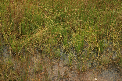 Eleocharis rostellata rooting culms