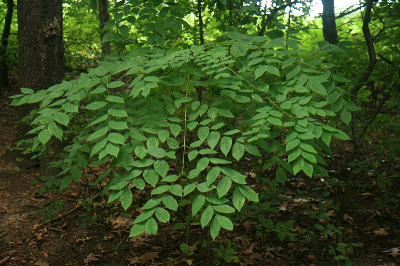 Gymnocladus dioicus leaves