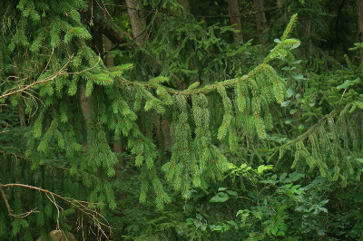 Picea abies branch