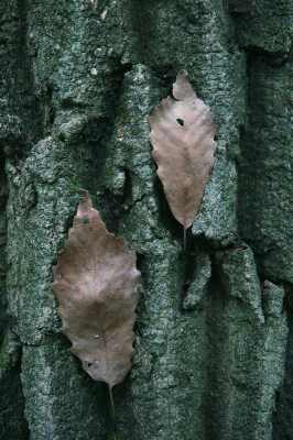 Quercus montana bark and old leaves