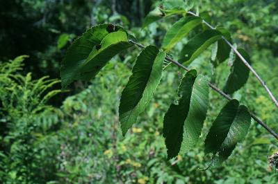 Ulmus rubra leaves