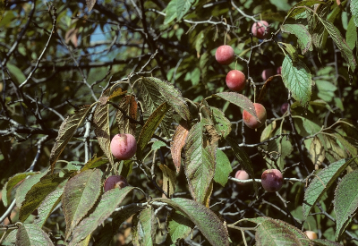 Prunus americana fruits