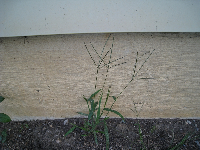 Digitaria sanguinalis