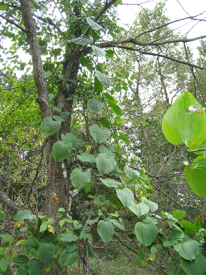 Smilax hispida