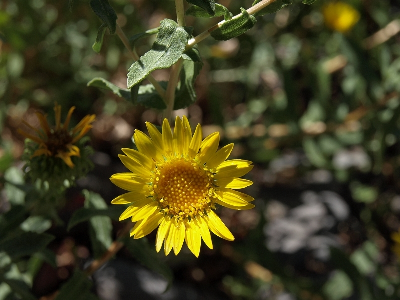Grindelia squarrosa flowering head top