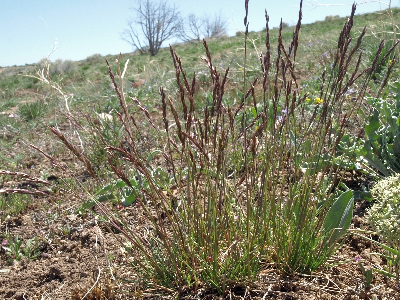 Poa secunda flowering plant