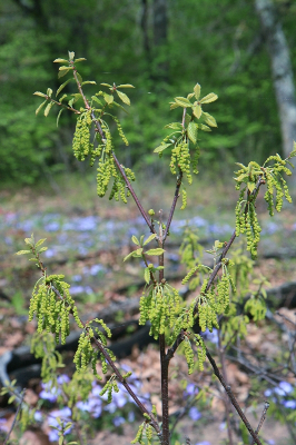 Quercus prinoides male catkins