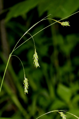 Carex formosa