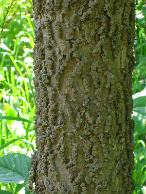 Celtis occidentalis bark