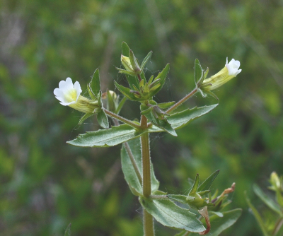 Gratiola neglecta