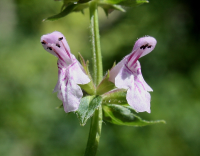 Stachys hispida