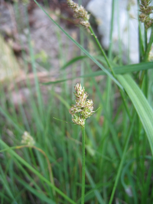 Carex leavenworthii