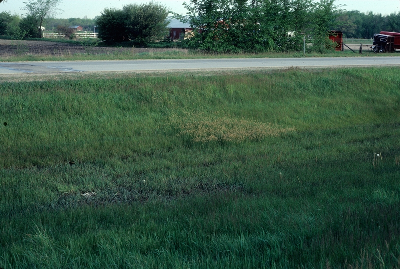Carex praegracilis staminate clone in highway median