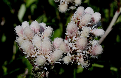 Antennaria parlinii